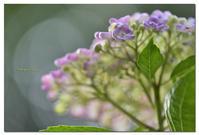 おたふく紫陽花 - toru photo box