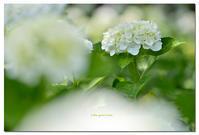 紫陽花    ホワイトダイヤモンド - toru photo box