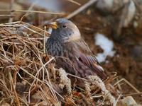 ハギマシコ - Nobbyの鳥ぶろぐ
