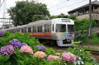 井の頭線と紫陽花2017 - 飛行機&鉄道写真館