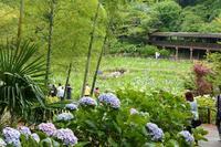 雨上がりの花菖蒲(千葉県、松戸市、本土寺) - 旅プラスの日記