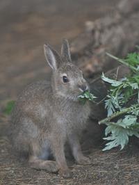 またまた小さな小さなトウホクノウサギ - bonsoir