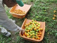 キャンパスの清掃活動は枇杷と南高梅の収穫にはしゃぐ - 島暮らしのケセラセラ