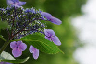 紫陽花 - akiy's  photo