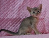 アビシニアン子猫 家族募集 ブルー レッド女の子 - carolcollection