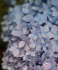 お庭の紫陽花 と 紫陽花ゼリー - my story***