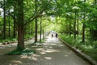 6月のメタセコイヤの並木道 - aco* mode