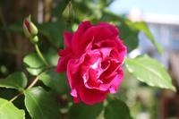 他の薔薇も咲いてます - kekukoの薔薇の庭