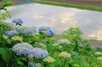 紫陽花 梅仕事 - 葡萄と田舎時間