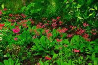 箱根のクリンソウ - 風の香に誘われて 風景のふぉと缶