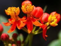 6.18 夏色の赤花 その2 なので - LGの散歩写真