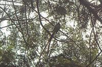 森林奥のサンコウチョウ Japanese Paradise Flycatcher - 素人写人 雑草フォト爺のブログ
