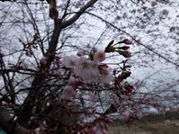 2017.04.01 相模川でお花見日本酒友の会 - ジムニーとカプチーノ(A4とスカルペル)で旅に出よう