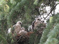 ツミの雛も大きくなって - 『彩の国ピンボケ野鳥写真館』