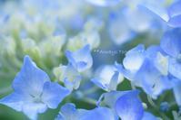 海の中の紫陽花 **想像の世界** - Always Together!