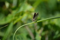 ギンイチモンジセセリ 6月17日 南信にて - 超蝶