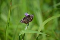 ミヤマセセリの産卵に遭遇 6月17日 南信にて - 超蝶