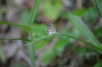 ウラナミジャノメ眼状斑紋の変異 6月17日 - 超蝶