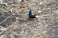 クロアゲハの吸水 6月17日 - 超蝶