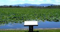 琵琶湖のハス - 気ままな園芸倶楽部