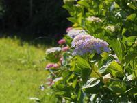紫陽花 - 鹿深の森