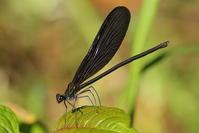 漆黒の美、ハグロトンボ(千葉県野田市、20170617) - Butterfly & Dragonfly