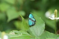 ミドリシジミ雄♂の開翅と雌♀AB型を探して(千葉県松戸市、20170618) - Butterfly & Dragonfly
