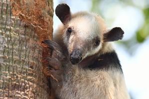 コアリクイの木登り - 動物園で写真撮影