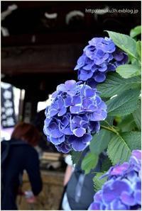 紫陽花@白山神社 - muku3のフォトスケッチ