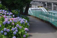 田端/北赤羽  アジサイ小径の向こうには - 東京雑派  TOKYO ZAPPA