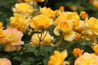 市川市動植物園のバラ園のバラ 3 父の日に黄色いバラ - Let's Enjoy Everyday!