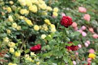 市川市動植物園のバラ園☆色々なバラに癒されて~ 4 - Let's Enjoy Everyday!