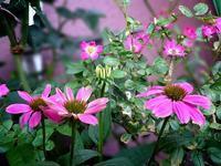 イーバンフェンとエキナセア。おまけのミヤマキリシマ - 花暮らしの記