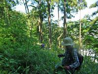 下草刈りとスギの間伐と運び出し:六国見山6月定例手入れ - 北鎌倉湧水ネットワーク