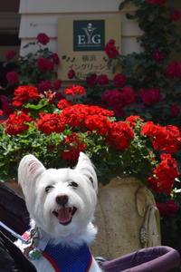 ♪ ダニエル 綺麗な薔薇を見に行こう・笑顔満載~(*^。^*) ♪ - happy west DANIEL story