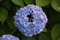 紫陽花 - こんな日は空を見上げてⅡ