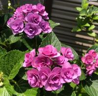 Instagramに初リンクは紫陽花で - ほうじ茶が好き