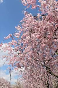 2017*GW 桜旅* ①~喜多方の枝垂れ桜 - Happy Slow  Life