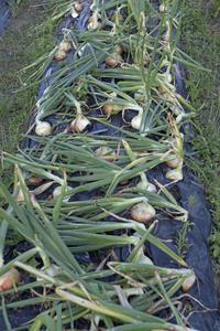 タマネギの収穫と保管 - フォトン