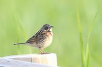 ホオアカ - poiyoの野鳥を探しに