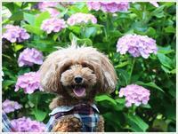 二日続きのお出掛けは、やっぱり季節の花、紫陽花を観てきました~ - さくらおばちゃんの趣味悠遊