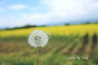 滝川の菜の花畑 - ロマンティックフォト北海道☆カヌードデバーチョ