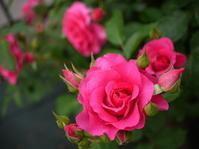 庭の薔薇 「うらら」 (2017年 5月) - 春&ナナと庭の薔薇