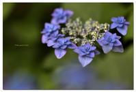 山紫陽花      深山八重紫 - toru photo box