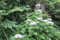 紫陽花の季節 ピンク系手毬紫陽花 ぼろ菊 - 仏師 金丸悦朗の挑戦