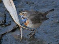 オガワコマドリ - Nobbyの鳥ぶろぐ