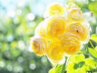 優しいイエローのローズ - 神戸布引ハーブ園 ハーブガイド ハーブ花ごよみ