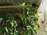 実験中ウラギンヒョウモン - 秩父の蝶