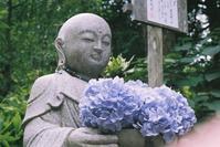 鎌倉・明月院の紫陽花(2016年6月) - 下手の横ズミ