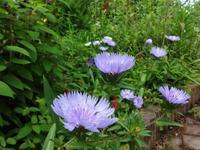瑠璃菊 - ろりぽりの花